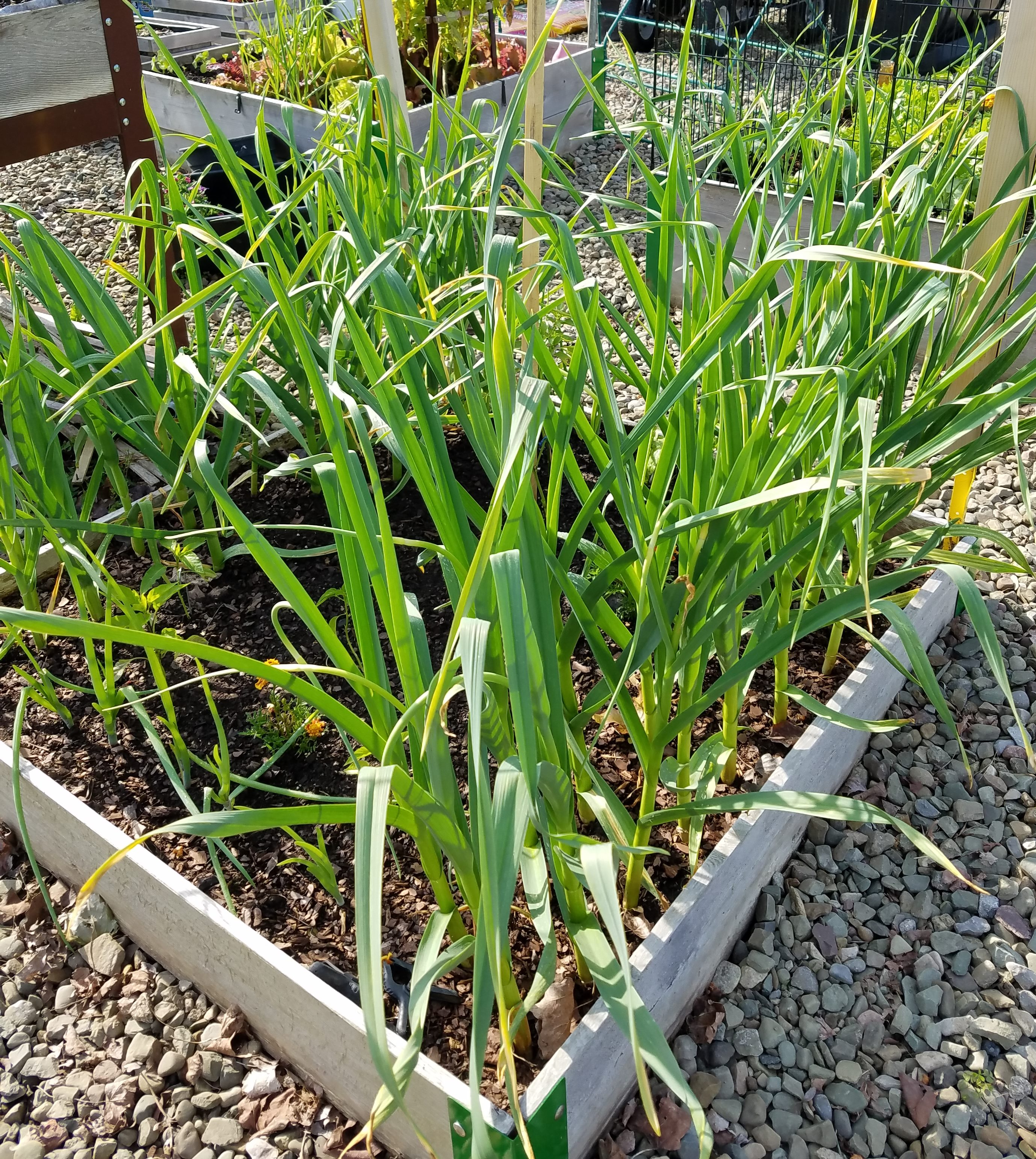 Growing Garlic at Home